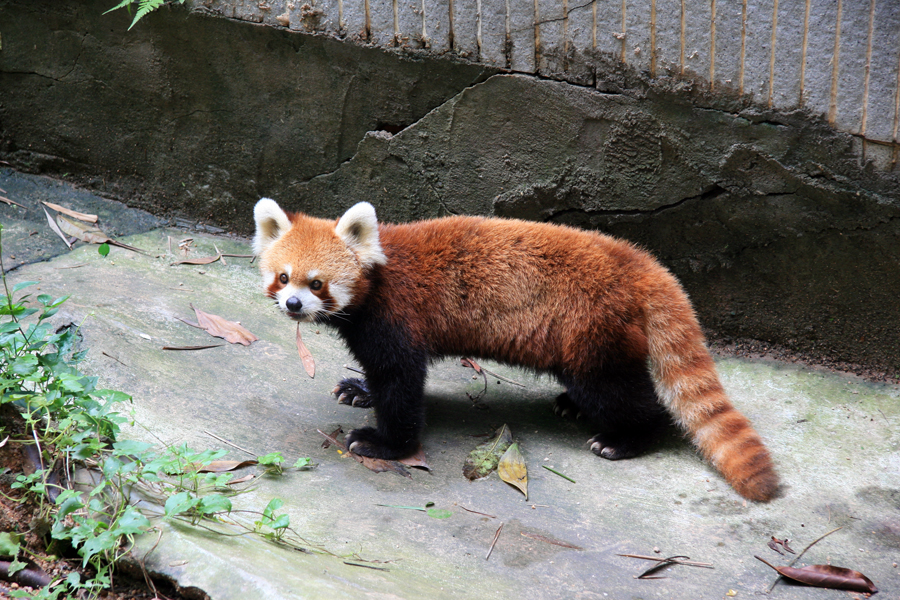 Lesser Panda, but so cute!