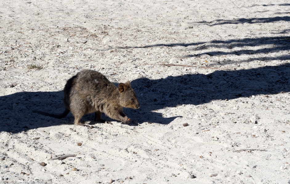 A Quokka, very cute