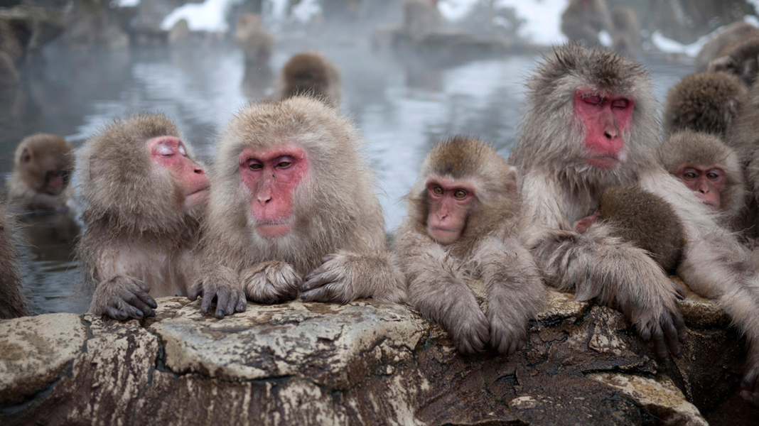 Snow Monkeys in their Onsen