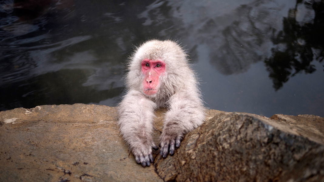 Snow Monkey chillin'