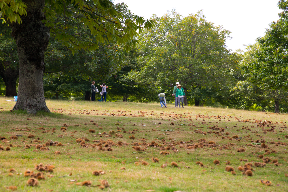 chestnut-picking-10