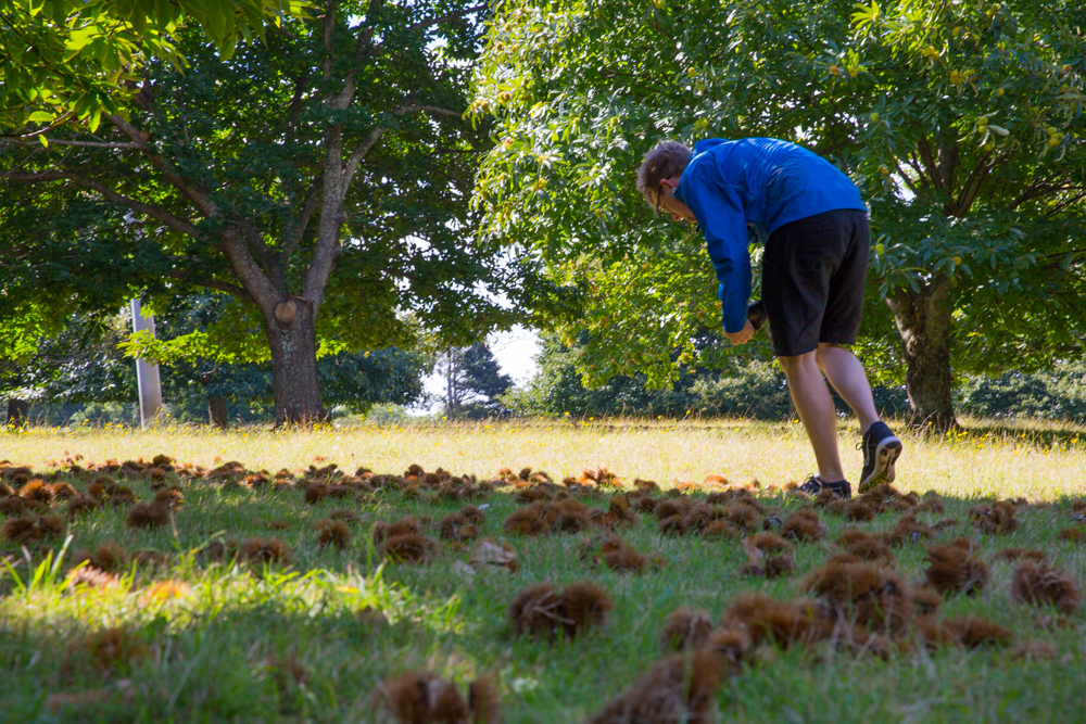 chestnut-picking-34